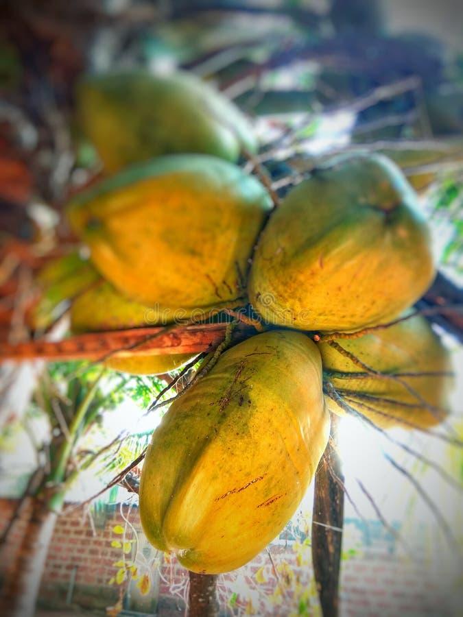Kokosnussbaum mit Früchten stockbild