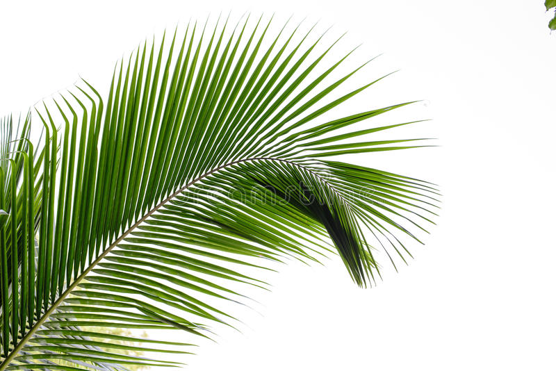 Kokosnussblätter stockfotografie