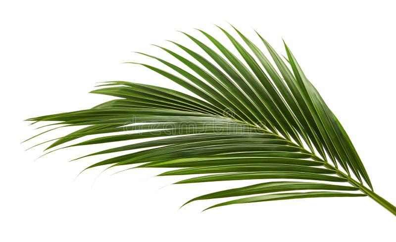 Kokosnussblätter oder Kokosnusswedel, grünes plam verlässt, das tropische Laub, das auf weißem Hintergrund mit Beschneidungspfad  stockbild