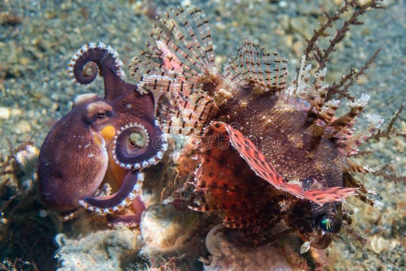 Kokosnusskrake, die gegen Skorpionsfische kämpft lizenzfreie stockfotografie
