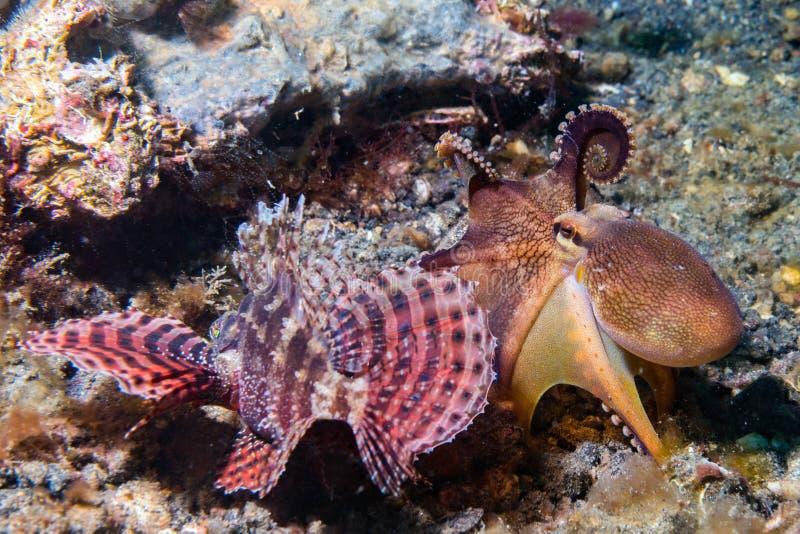 Kokosnusskrake, die gegen Skorpionsfische kämpft lizenzfreies stockfoto