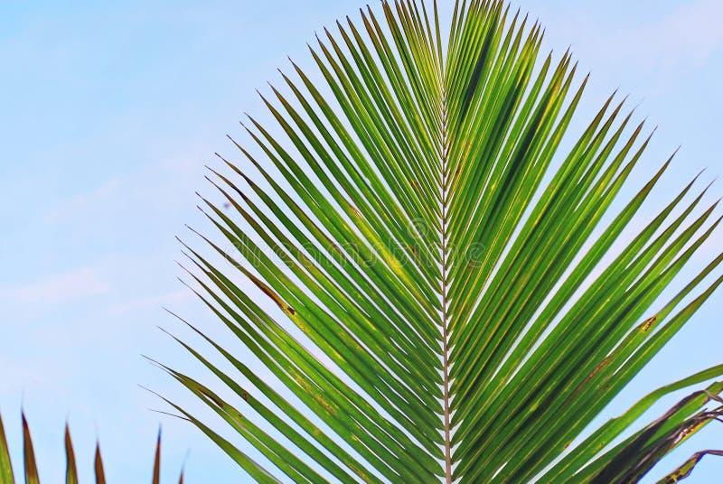 Kokosnusspalmblätter auf Hintergrund des blauen Himmels lizenzfreie stockfotografie