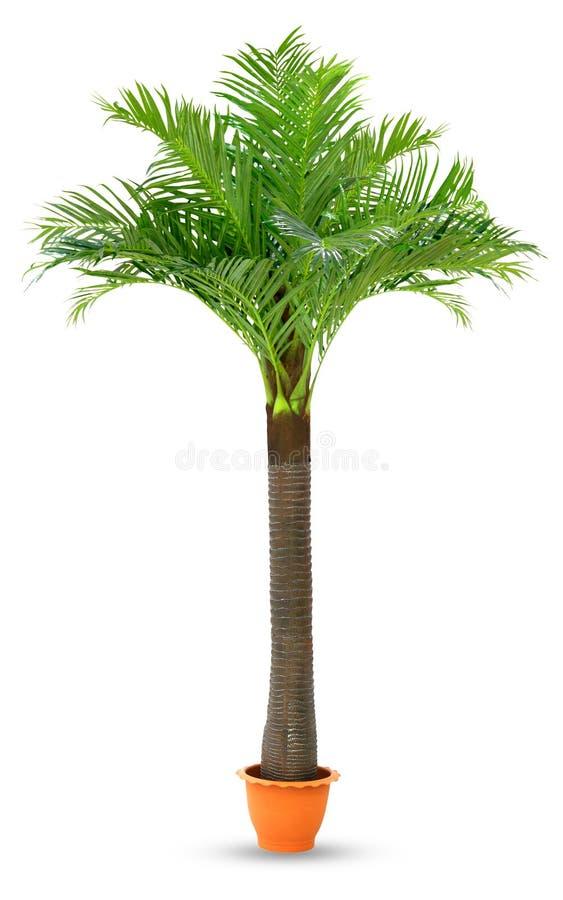 KokosnussPalme in lokalisiertem weißem Hintergrund des Topfes Plastik, Kokosnussbaum für Dekorationsstandausstellungsstützen-Anze stockfotos