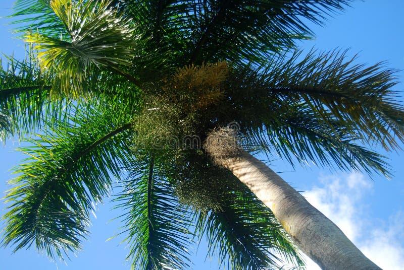 Kokosnusspalme in Mauritius lizenzfreie stockfotografie
