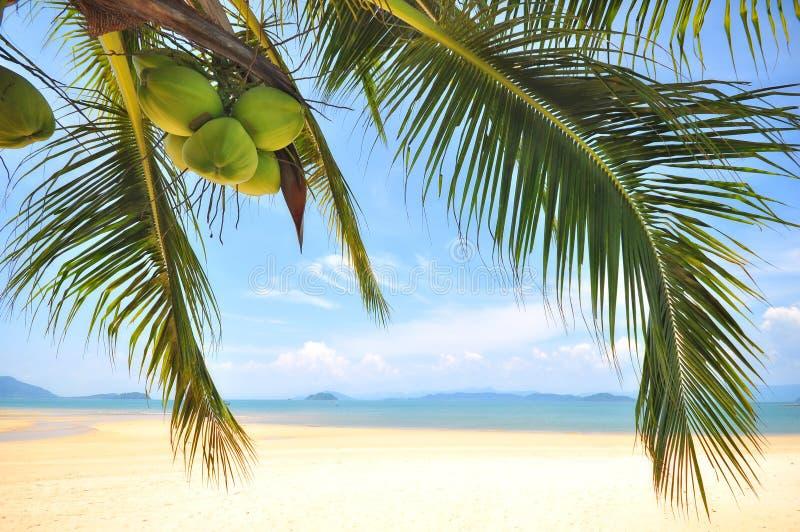KokosnussPalmen mit Kokosnüssen tragen auf tropischem Strandhintergrund Früchte lizenzfreies stockfoto