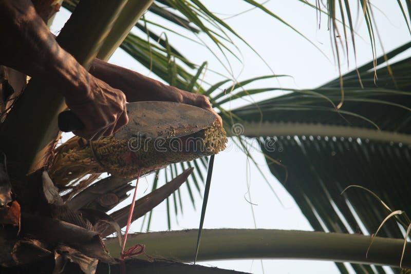 Kokosnusspalmenernte stockbild