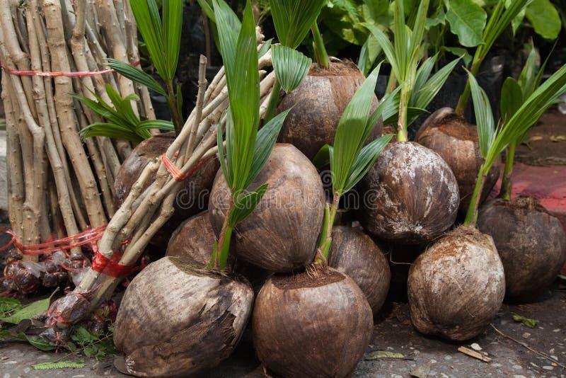 Kokosnusssämlinge bereit zum Pflanzen lizenzfreie stockbilder