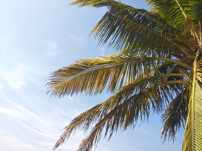 Kokosowe gałąź latają w niebieskim niebie obraz royalty free