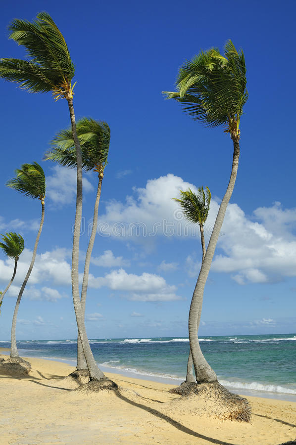 kokosowe palmy obrazy royalty free