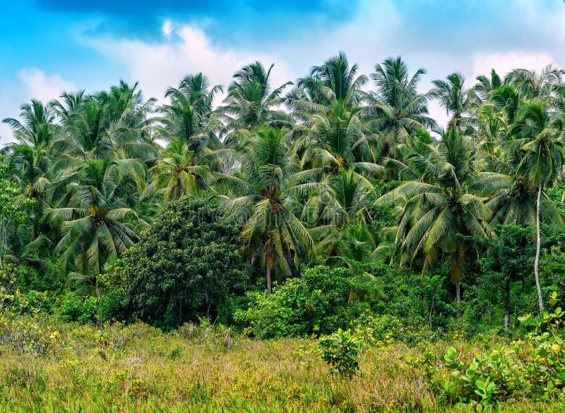 Kokosowe palmy w dżungli fotografia royalty free