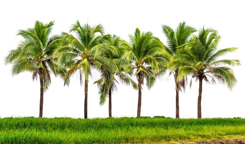 Kokosowego drzewa grupa zdjęcia stock
