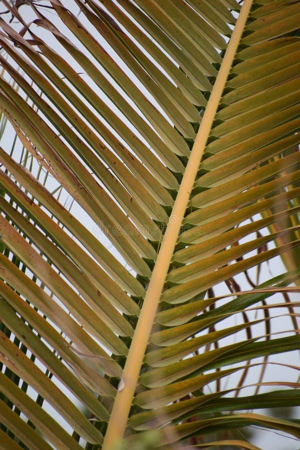 Kokosowego drzewa liścia tło dla tapety fotografia stock