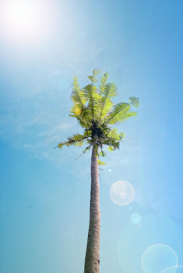 kokosowego drzewa niebieskie niebo fotografia stock