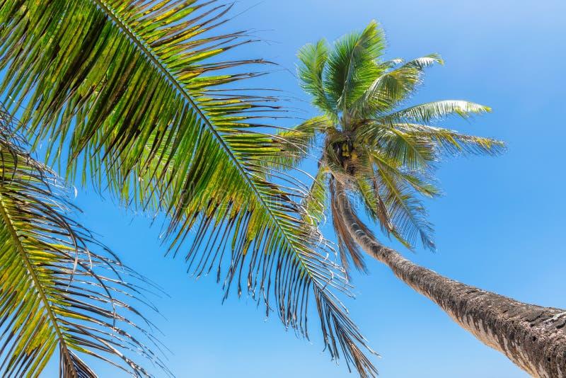 Kokosowi drzewka palmowe przeciw niebieskiemu niebu na tropikalnej plaży obraz stock