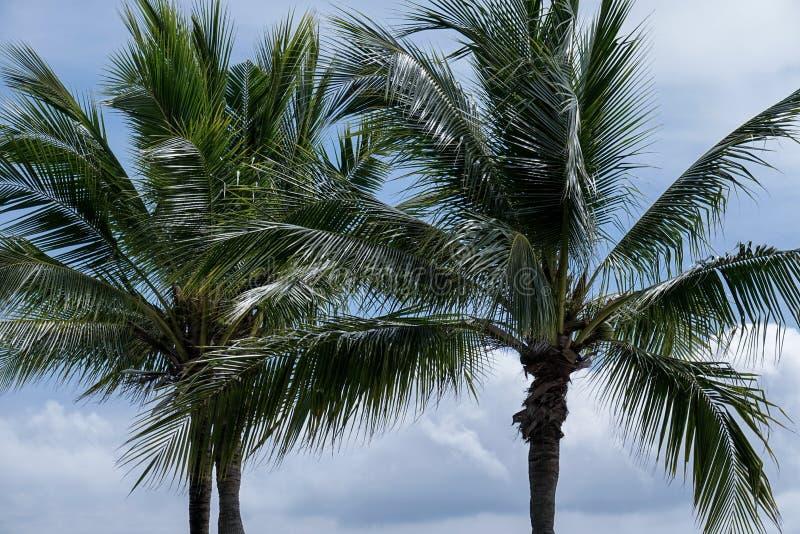 Kokosowi drzewka palmowe przy wiatrem fotografia stock
