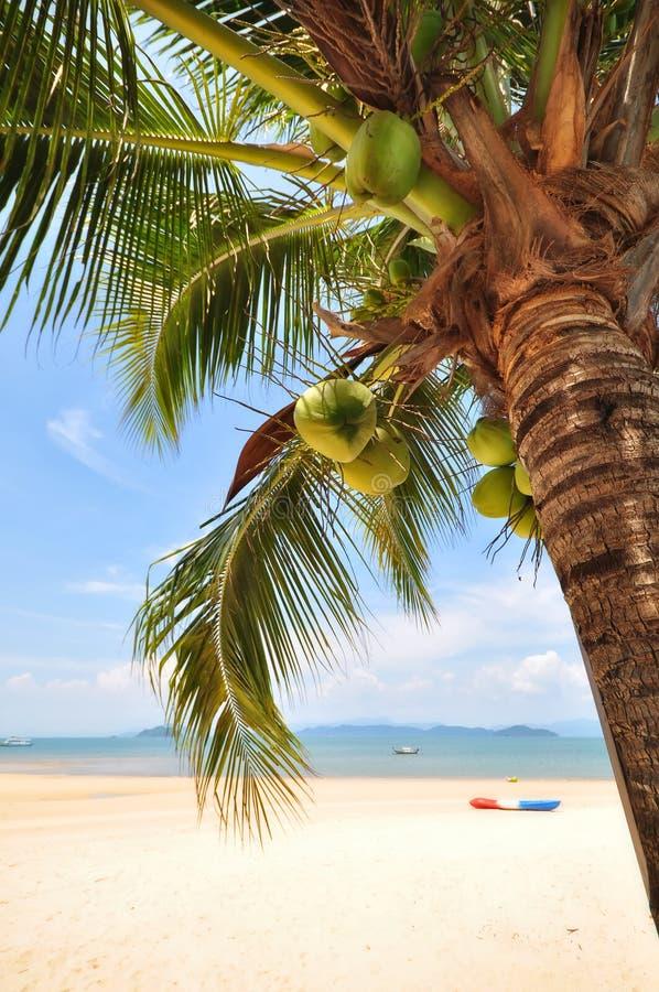 Kokosowi drzewka palmowe z koks owocowymi na tropikalnym plażowym tle fotografia royalty free