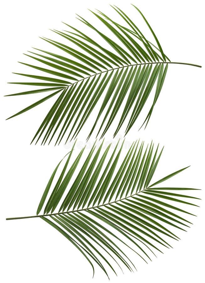 Kokosowi drzewko palmowe liście ustawiają 1 odizolowywającego fotografia stock