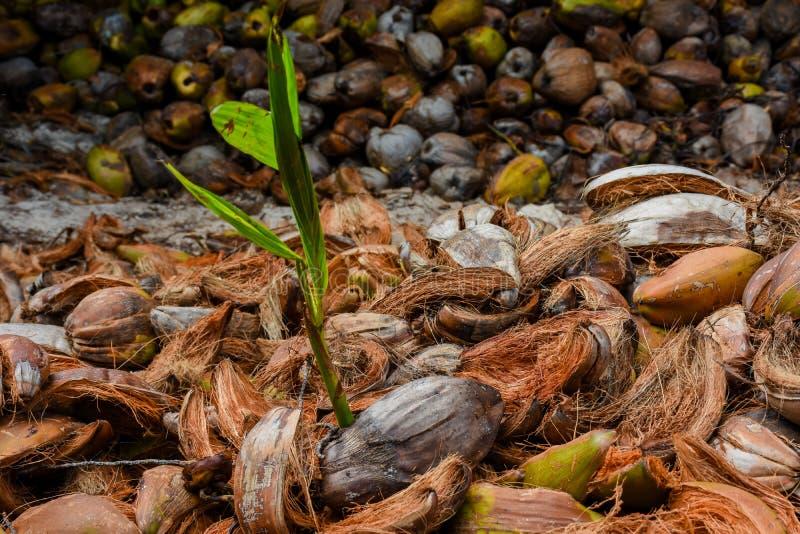 Kokosowy dorośnięcie od stosu stare kokosowe skorupy zdjęcia stock