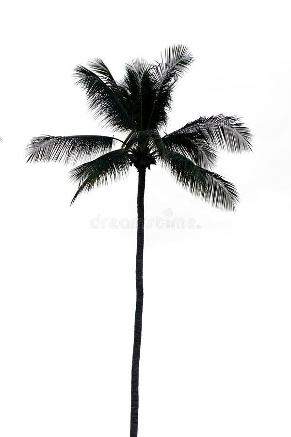 Kokosowy drzewko palmowe, odizolowywający zdjęcia royalty free