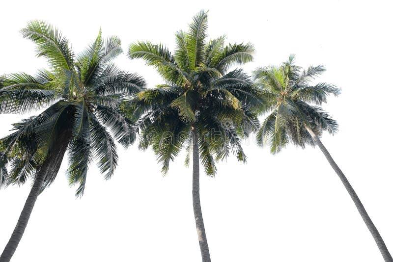 Kokosowy drzewko palmowe odizolowywający na biały tle zdjęcia stock