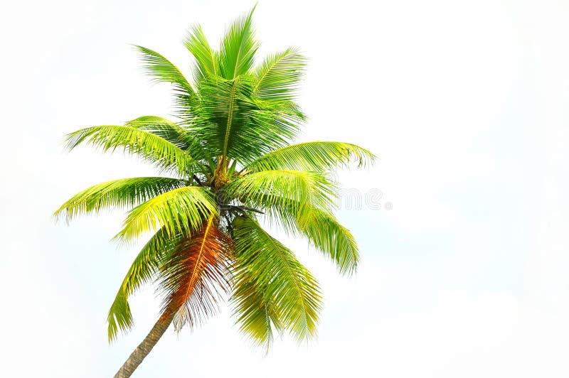 kokosowy drzewo obrazy stock