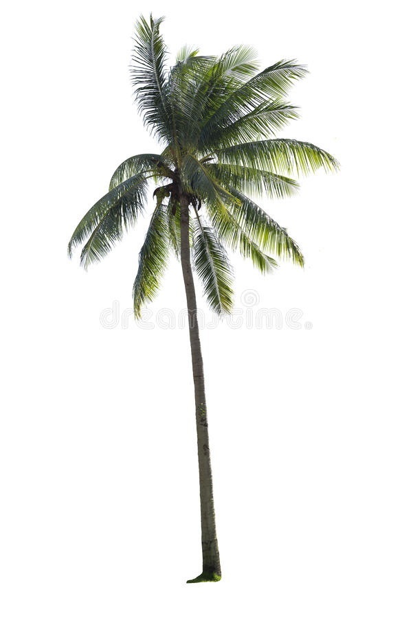 Kokosowy drzewo odizolowywający obrazy royalty free