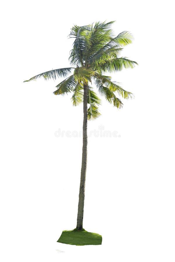 Kokosowy drzewo odizolowywający obraz stock