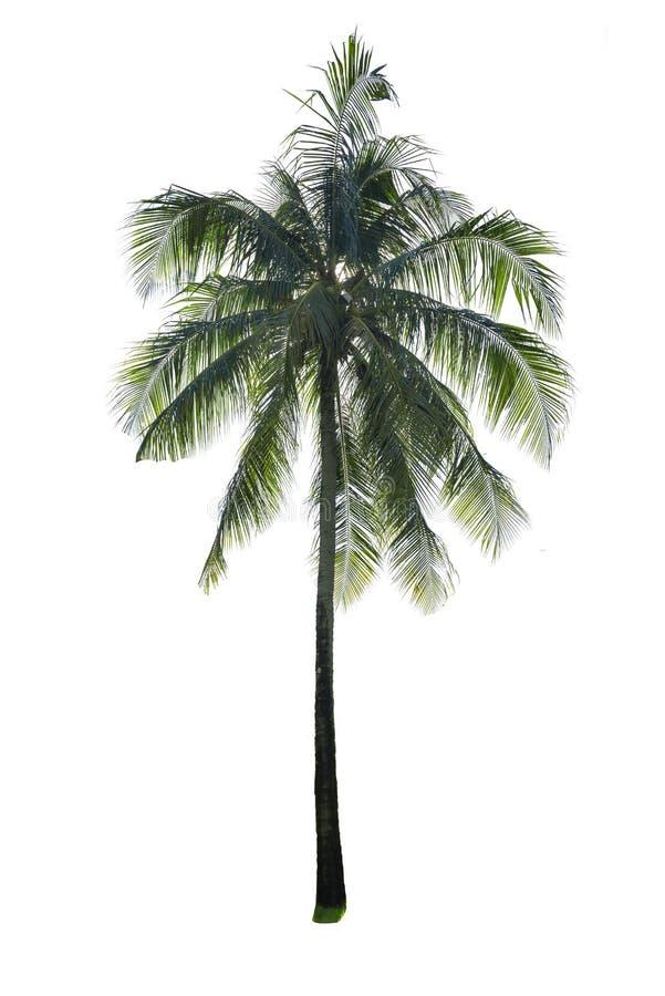 Kokosowy drzewo odizolowywający zdjęcie royalty free