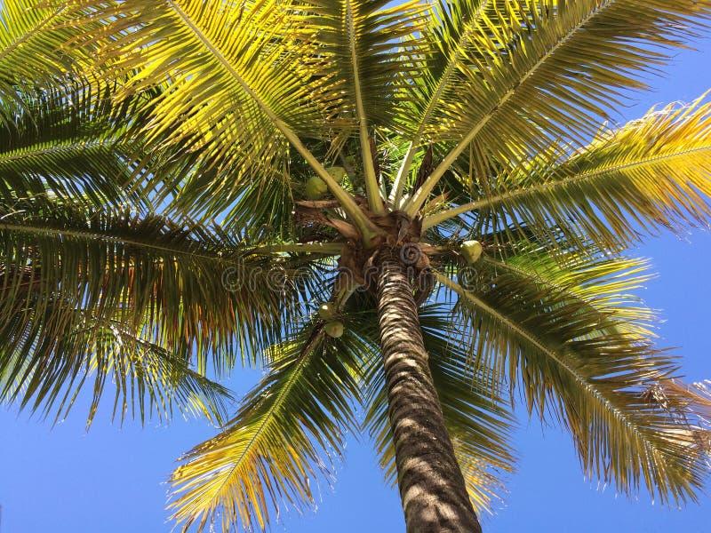 Kokosowy drzewo w Vinhedo obrazy stock