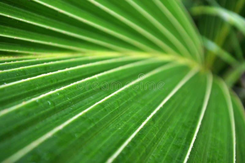 Kokosowy palmowego liścia zakończenie w górę tła zdjęcia royalty free