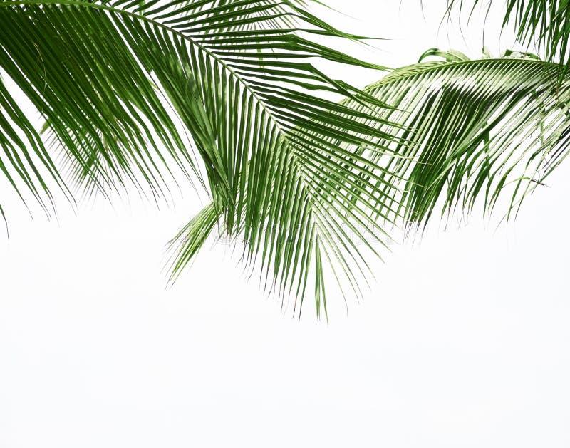 Kokosowy palmowy liść odizolowywający na białym tle zdjęcie royalty free