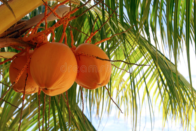 kokosowy pomarańczowy drzewo zdjęcia stock