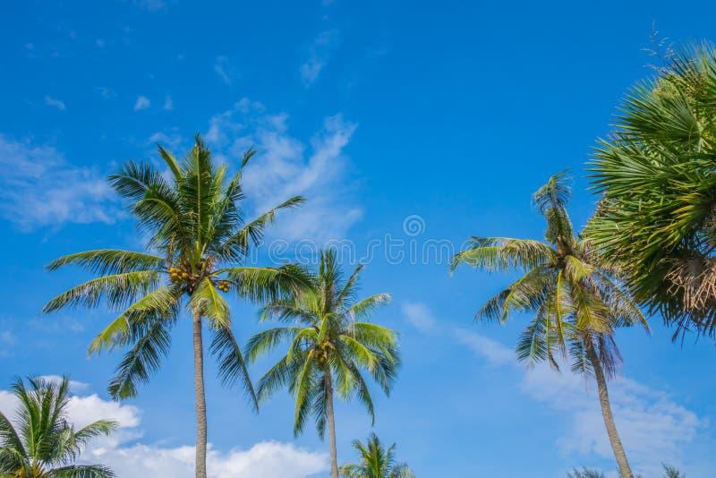 Kokospalm över blå himmel arkivbild
