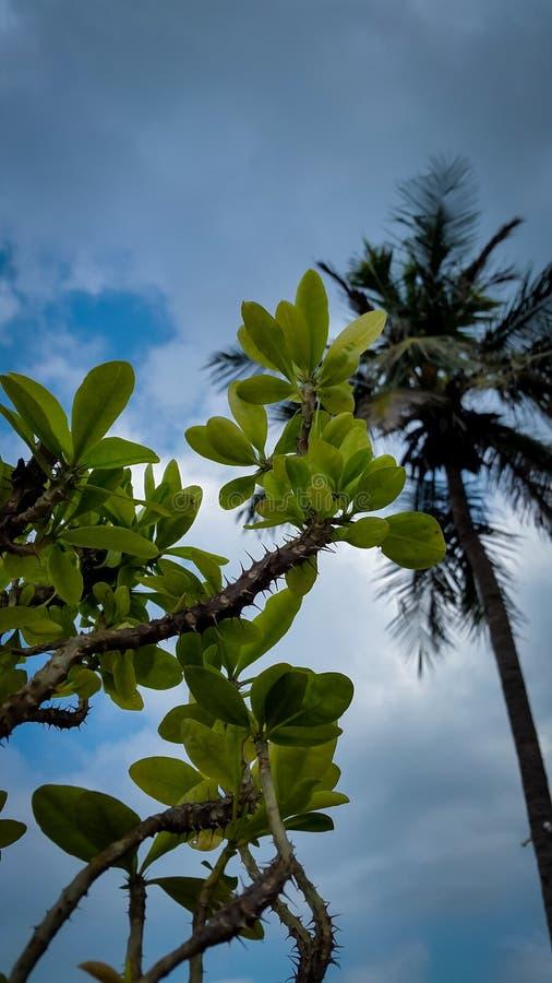 Kokospalm bak kronan av thronsväxter med gröna blad under blå molnig himmel fotografering för bildbyråer
