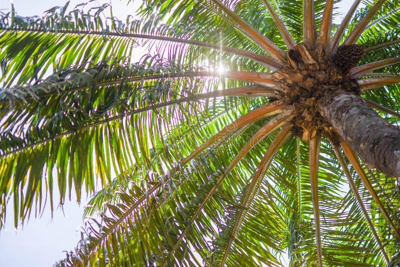 Kokospalm ljust kulöra sidor fotografering för bildbyråer