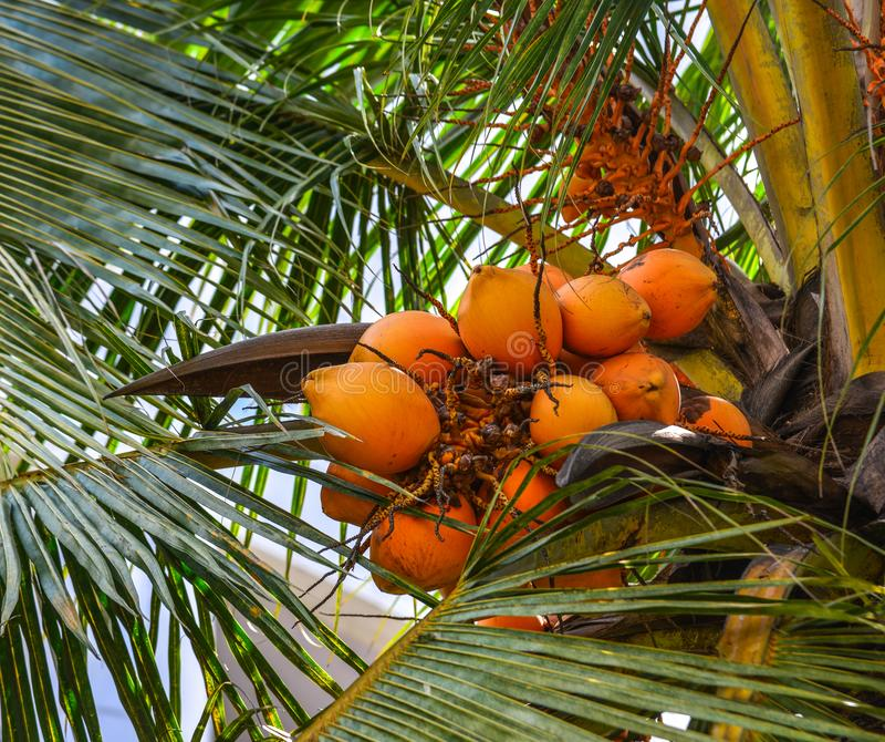 Kokospalm och frukter p? den soliga dagen arkivbilder