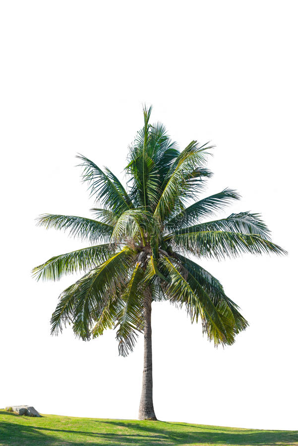 Kokospalm op geïsoleerde witte achtergrond stock fotografie