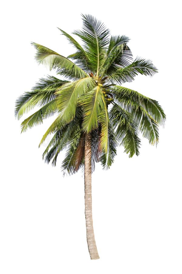 Kokospalm op witte achtergrond wordt geïsoleerd die royalty-vrije stock foto's