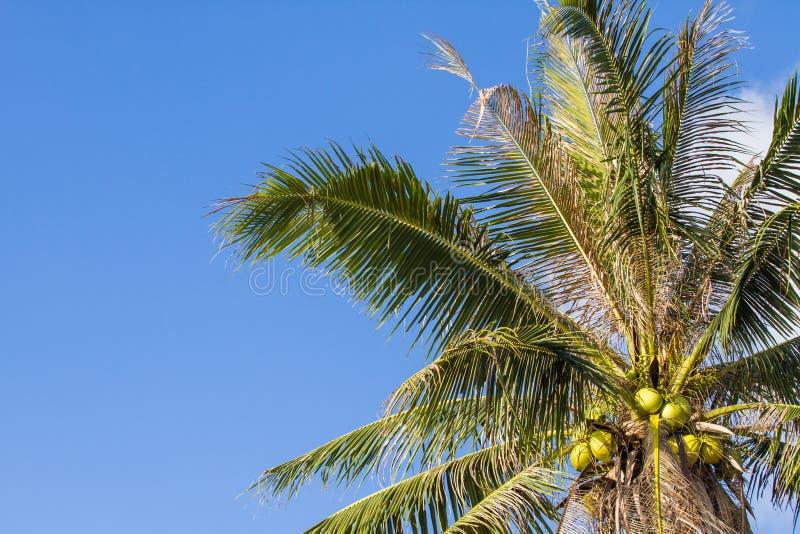 Kokospalm under blå himmel och moln royaltyfri foto