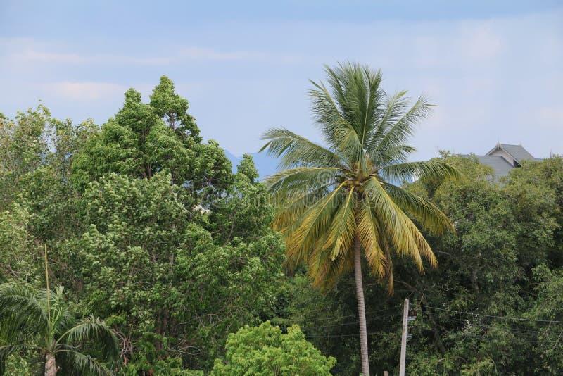 Kokospalmdjungeln, gömma i handflatan i vändkretsarna royaltyfria bilder