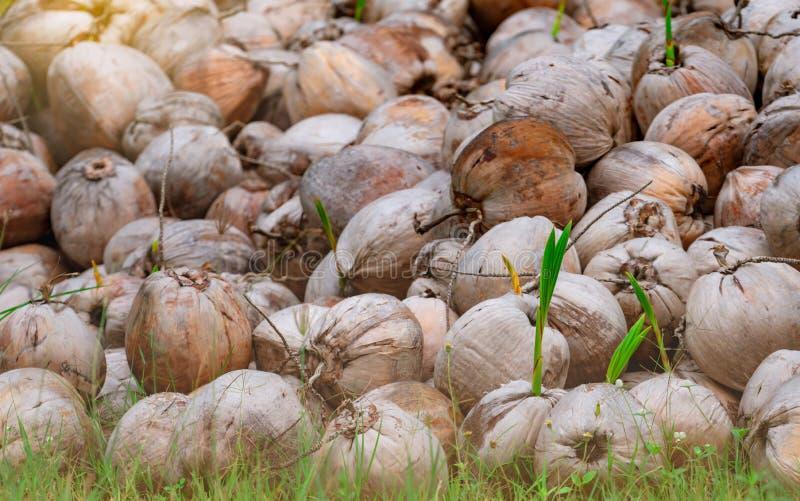 Kokospalme Kokospalme mit grünen Blättern aus brauner Kokosnuss Anpflanzen von Kokospalmen in stockbild