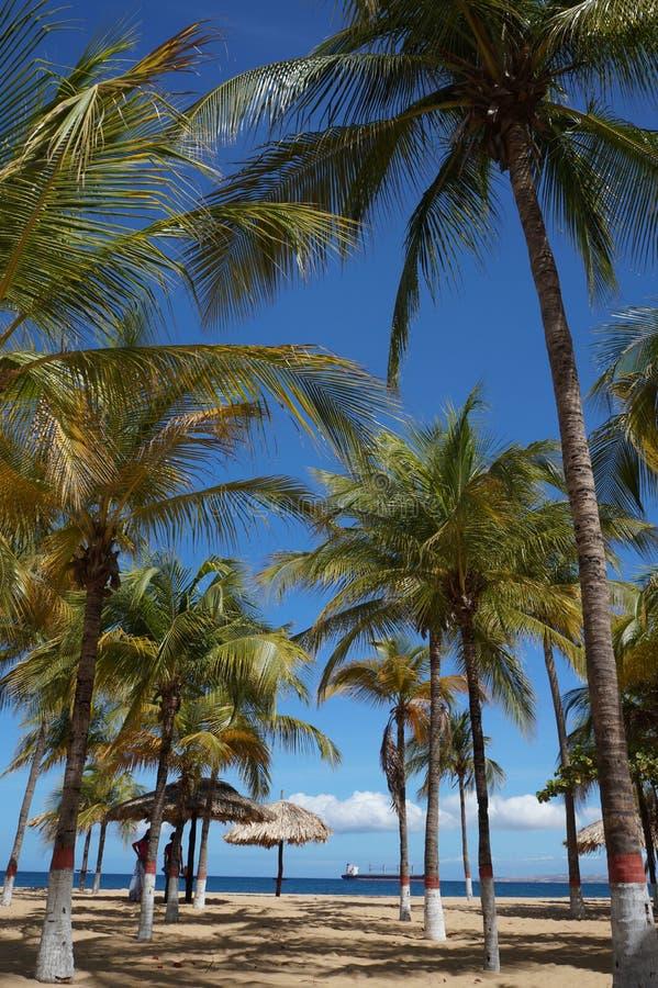 Kokospalmen royalty-vrije stock foto's