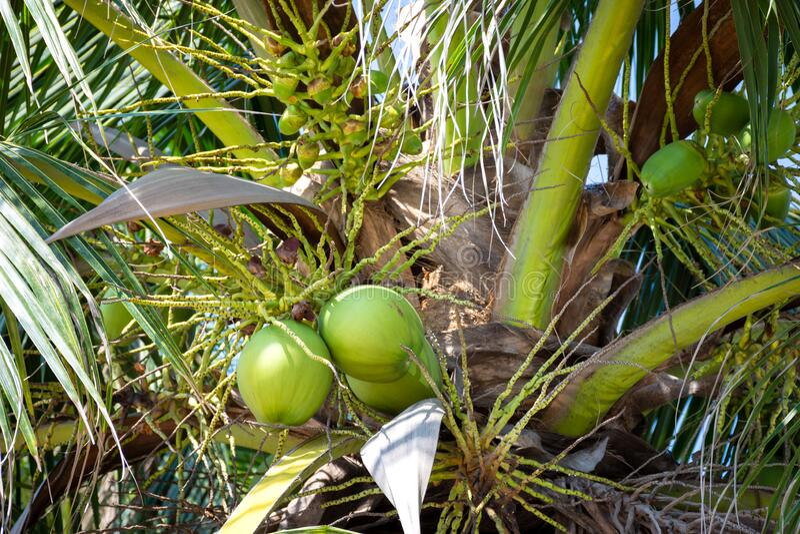 An Kokospalmen hängende Früchte, frische Kokosnüsse stockbild