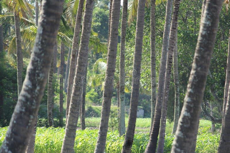 Kokospalmen in reekssteeg stock afbeelding