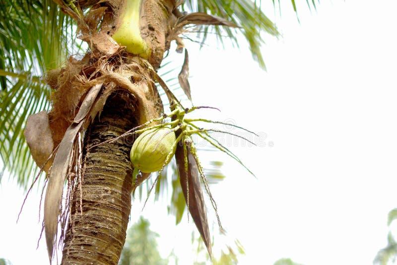 Kokospalmer på en vit backgroun arkivfoto