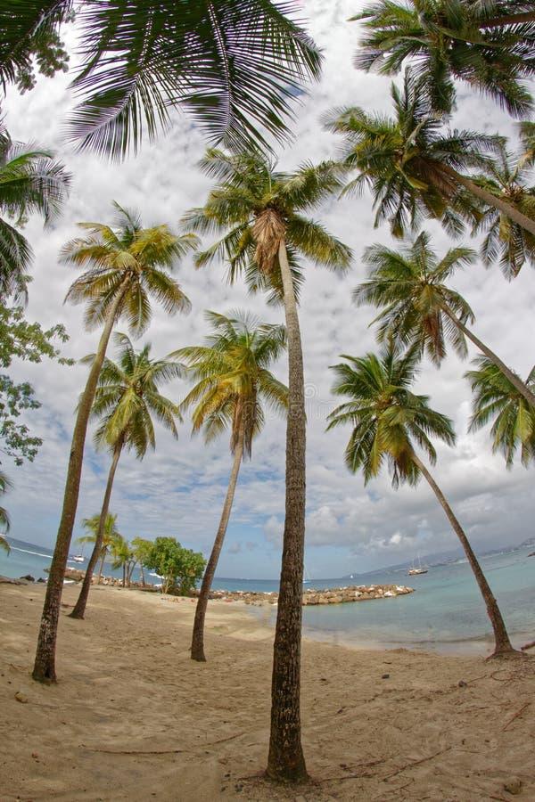 Kokospalmer på Pointe du Anfall sätter på land - Les Trois Ilets - Martinique fotografering för bildbyråer
