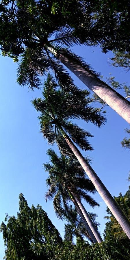 Kokospalmer som förbluffar bild för blå himmel för sikt royaltyfria foton