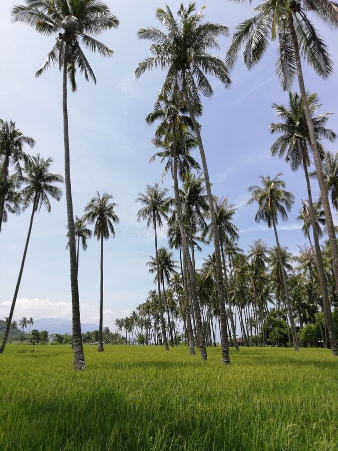 Kokospalmer under risfält på Mindoro, Filippinerna arkivfoto