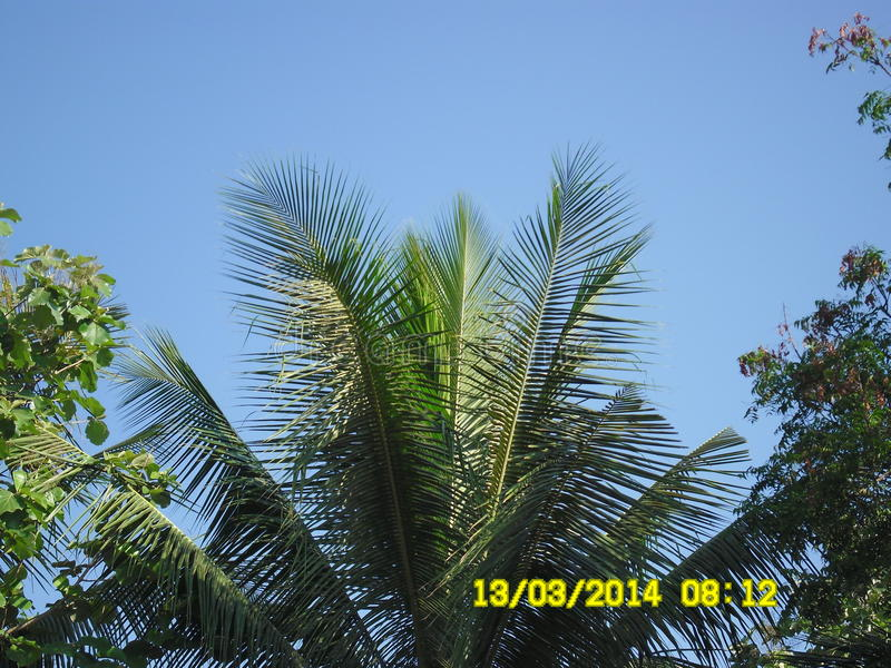 Kokospalmhuvudet royaltyfri fotografi
