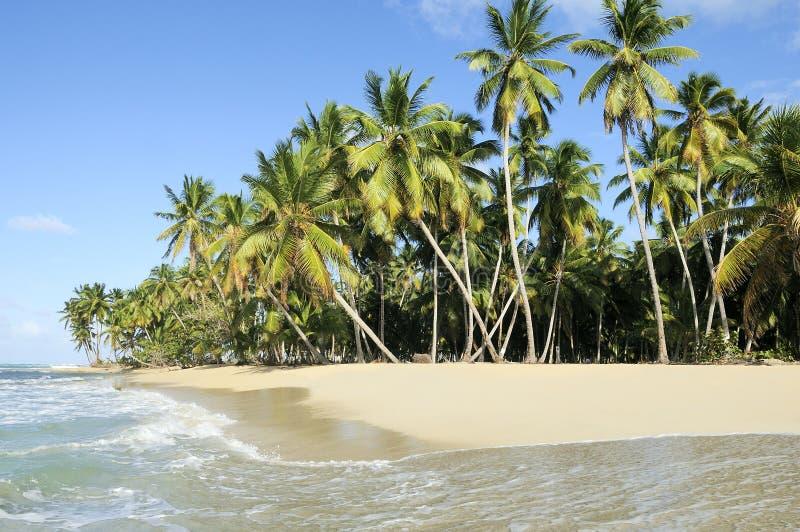 koks palmowi zdjęcie royalty free